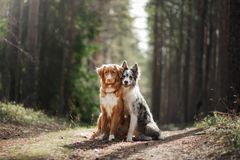 Two dogs hugging. pet for a walk in the woods. Nova Scotia duck tolling Retriever and Border collie. Two dogs hugging. pet for a walk in the woods. Toller, Nova royalty free stock photos