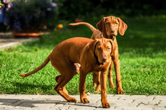 Two dogs. Two hungarian vizslas watching playfully Stock Photos
