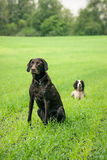 Two dogs. Two hunting dogs on a green field Stock Photos
