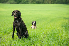 Two dogs. Two hunting dogs on a green field Stock Image