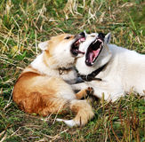 Two dogs husky of the kidskin play Royalty Free Stock Images