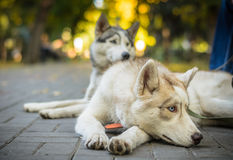 Two dogs husky lie in the park on a sunny day Stock Image