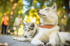 Two dogs husky lie in the park on a sunny day Stock Photo