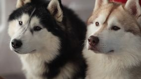 Two dogs and Husky puppy indoors. Two dogs and Husky puppy sitting in the room stock video