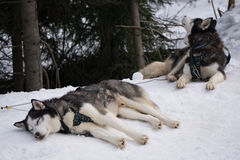 Two dogs Husky resting on a snow. Ready for dogsled run Royalty Free Stock Photos