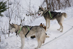 Two dogs Husky standing on a snow. Ready for dogsled run Stock Images