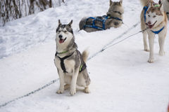 Two dogs Husky standing on a snow. Ready for dogsled run Royalty Free Stock Photo