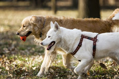 Two Dogs In The Park Stock Image