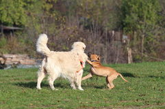 Two Dogs / Invitation To Play Royalty Free Stock Image