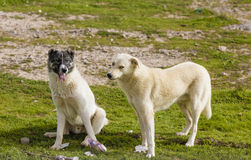 Two dogs in Iraqi countryside Stock Photos