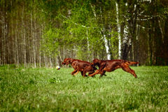 Two dogs an Irish setter playing ball Royalty Free Stock Images
