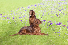 Two dogs  - Irish Setter - sitting in the grass Stock Images