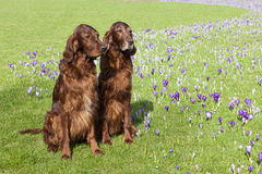 Two Irish Setter. Two dogs (Irish Setter) sitting in the grass of a park with blooming crocuses stock photography