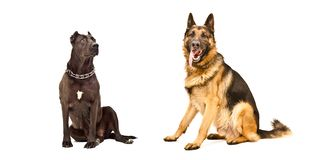 Two dogs isolated. Two dogs sitting isolated on white background royalty free stock photography