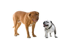 Two dogs isolated on white Royalty Free Stock Photography
