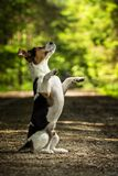 Two dogs jack russel terrier. Jack russel terrier standing on hind on the way Stock Images