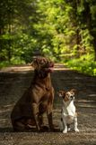 Two dogs jack russel terrier. Jack russel terrier standing on hind on the way Royalty Free Stock Image
