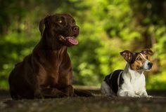 Two dogs jack russel terrier. Jack russel terrier standing on hind on the way Stock Photos
