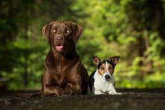 Two dogs jack russel terrier. Jack russel terrier standing on hind on the way Royalty Free Stock Photography