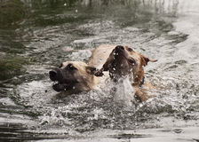 Two Dogs Joyfully Swimming Royalty Free Stock Photo