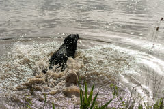 Two Dogs Jump Into Lake For Fun. A series of consecutive images of two dogs, Labrador Retrievers, jumping into a lake and playing in the water Royalty Free Stock Photography