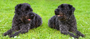 Two dogs kerry blue terrier Stock Image