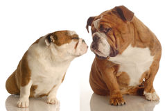 Two dogs kissing Royalty Free Stock Photos