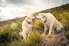 Two dogs kissing Stock Image