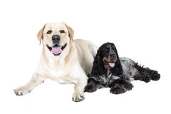 Two dogs (Labrador Retriever and English Cocker Spaniel). On a white background stock image