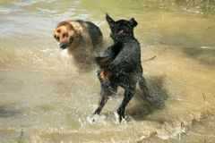 Two dogs in lake Royalty Free Stock Photo