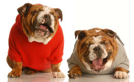 Two dogs laughing stock photos