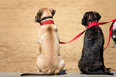 Two dogs on a leash. Sitting calmly on the pavement next to their owner royalty free stock photography