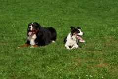 Two dogs lie in the meadow. stock photography