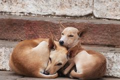 Two dogs lie on the steps of ghat in Varanasi Stock Photos