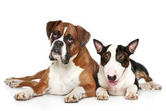 Two dogs lie on a white background. Two friends, Boxer and Bull Terrier resting  on a white background Royalty Free Stock Images