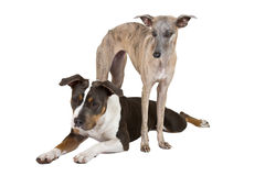 Two dogs listen Royalty Free Stock Image