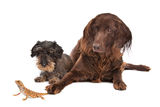 Two dogs and a lizard Stock Photography