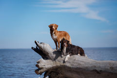 Two dogs on a log Stock Images