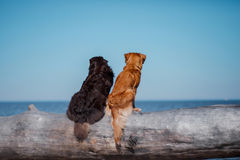 Two dogs on a log Royalty Free Stock Image