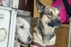 Dogs on a Camping Trip. Two dogs look out of the doorway of a camper on a camping trip in Fort Myers, Florida stock images