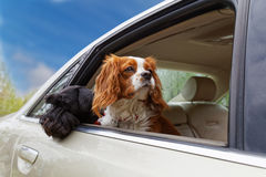 Two dogs look out the open car window Stock Photo