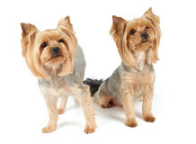 Two dogs look up Royalty Free Stock Photography