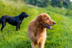 Two dogs looking away Stock Images
