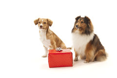 Two dogs looking at gift box Stock Photos