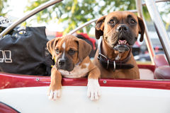 Two dogs looking out of a car. stock photography
