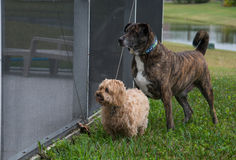 Two dogs looking through screen Royalty Free Stock Photo