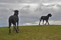 Two dogs looking similar. Great Dane dogs on a hill Stock Photography