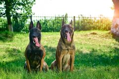 Two dogs are looking straight forward. Two are looking straight forward. The dogs are lovely and cute Stock Image