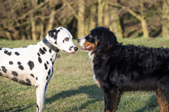 Two dogs looking to each other. Dalmatian and Bernese mountain dog looking to each other Stock Photos