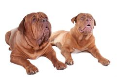 Two dogs looking up Royalty Free Stock Image